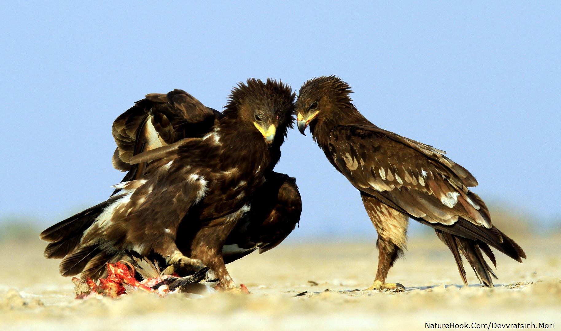 Greater Spotted Eagle (Clanga clanga) adult & juvenile
