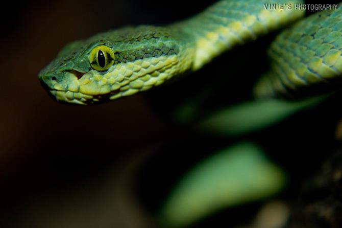 Bamboo pit viper(trimeresurus spp.)