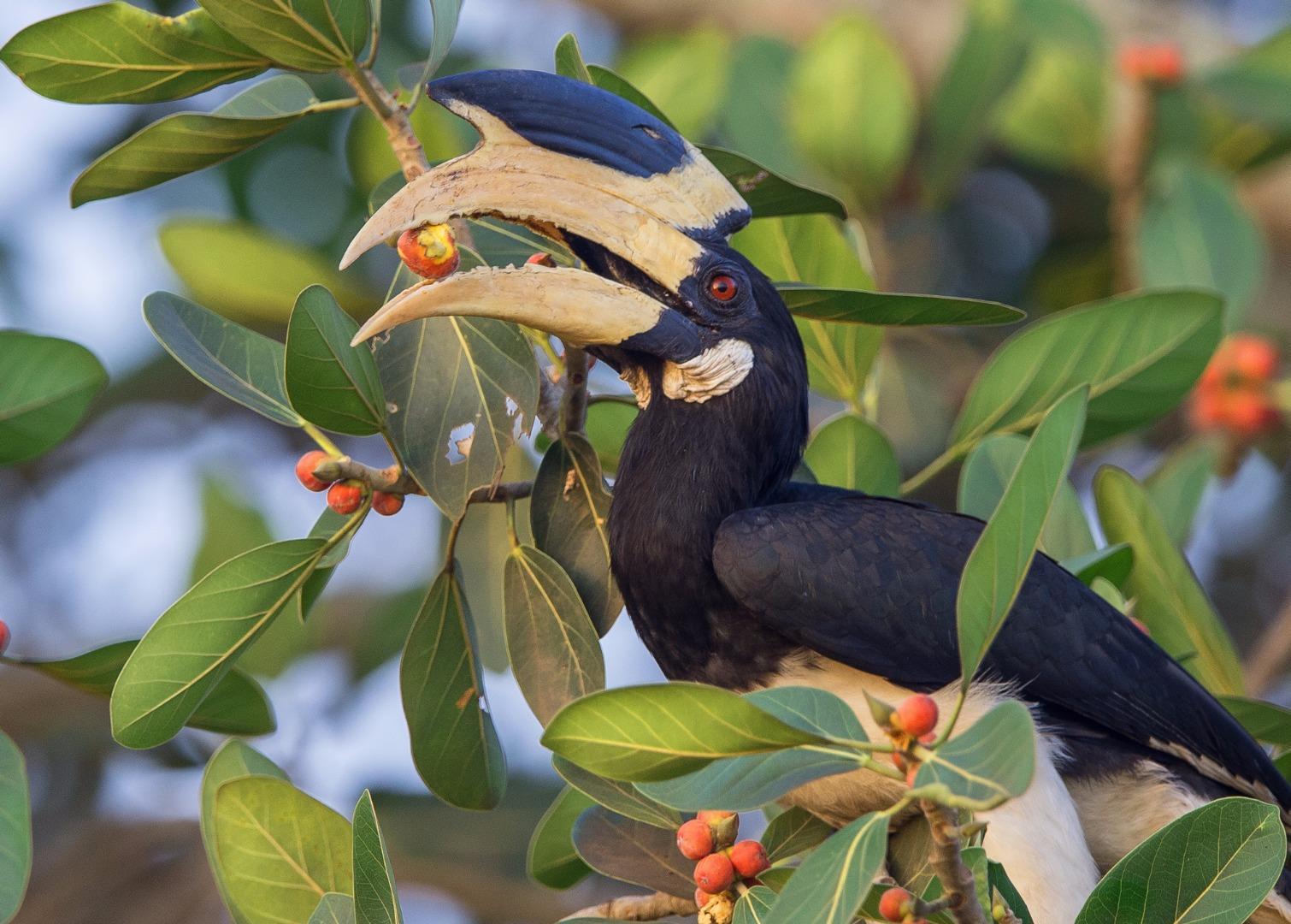 Malabar Pied Hornbill with the feed